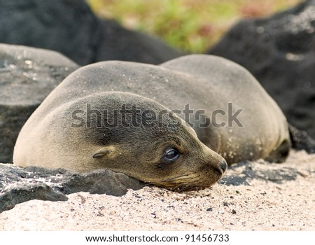 Sea Lion Cub Peacefully Resting on a Galapagos Beach - stock photo