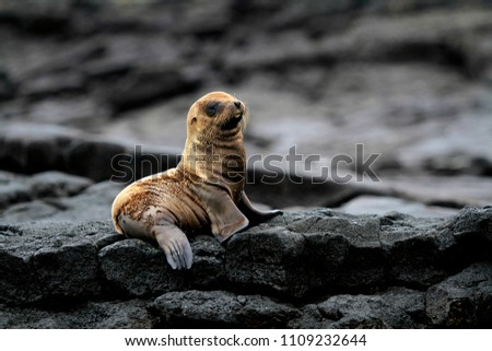 sea lion cub South America Galapagos