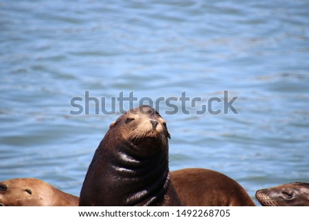 Sea lion mammals with brown fur on pier in blue water on bright sunny day.