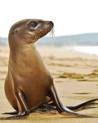 Sea Lion pup in southern California.