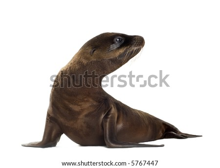 sea-lion pup (3 months) in front of a white background