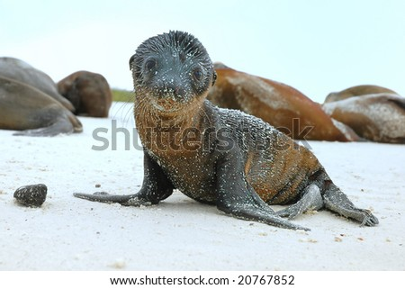 Sea Lion pup on beach in Galapagos Islands