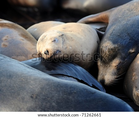 Sea lion pup rests in pile of sea lions