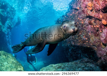 sea lion puppyunderwater coming to you to have fun and play