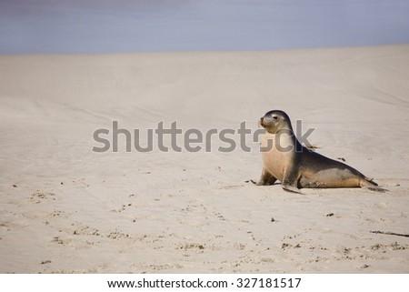 Sea lion resting at Seal bay of Kangaroo Island, Australia