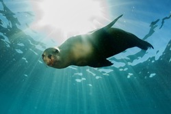 sea lion seal coming to you underwater