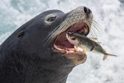 Sea Lion Snack on the Sea of Cortez