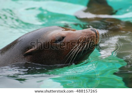 Sea lion swimming along in the water with his nose out of the water. #488157265