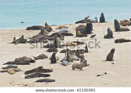 Sea lions and elephant seals on San Miguel Island, Channel Islands National Parks, California