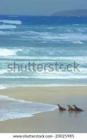 Sea-lions and ocean, south Australia