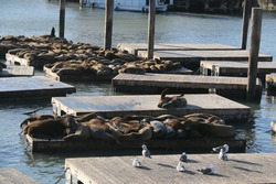 Sea lions are laying down on wooden platforms at Pier 39, a famous tourist's destination in San Francisco.