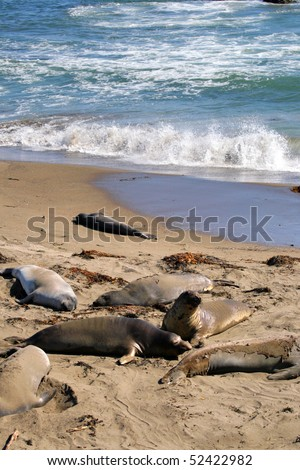 Sea lions at the Pacific Coast, California, USA