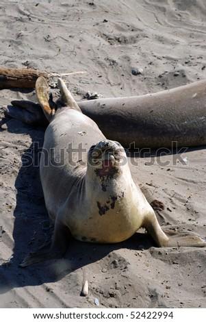 Sea lions at the Pacific Coast, California, USA