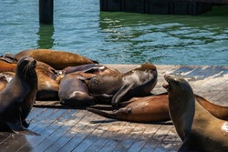 Sea lions bask in the sun in San Francisco, in clear sunny weather. Concept, tourism, travel.