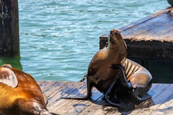 Sea lions bask in the sun near Pier 39 in San Francisco, in clear sunny weather. Concept, tourism, travel.