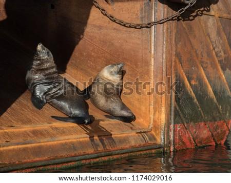 Sea Lions Capetown #1174029016