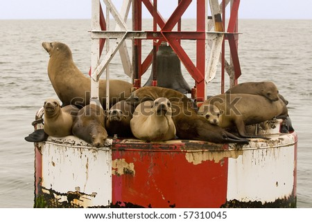Sea Lions Off Santa Barbara