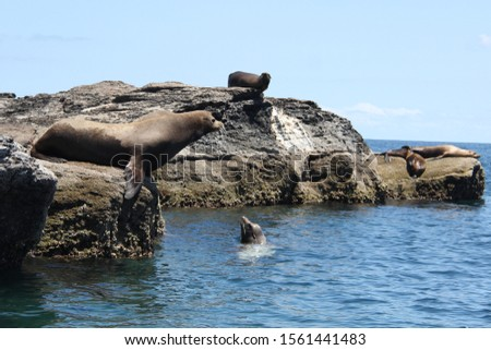 Sea lions on rocks and in water in Coronado island in Baja California nature, Mexico. Wildlife photography #1561441483