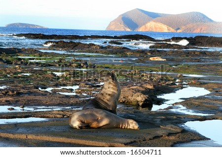 Sea Lions rest on the shores of the Galapagos islands of Ecuador