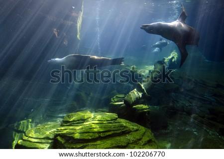 Sea Lions swims underwater.