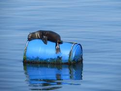 Sea lions use the floating barrels to rest, warm up and sunbathe. The barrels are used for oyster farming near the peninsula off the coast of Walvis Bay, Namibia.