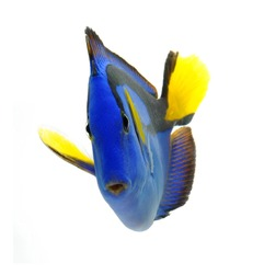 sea marine , blue tang fish isolated on white background