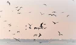 Sea nature, the flock of seagulls flying over the sea in search of fish on a misty morning