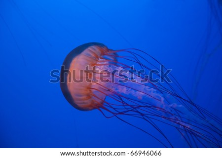 Sea nettle jellyfish in the deep blue water