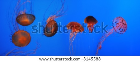 Sea Nettles and Blue Jellies