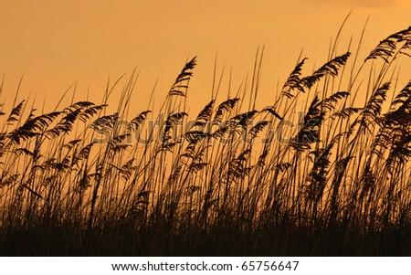 Sea oats (Uniola paniculata) on dusk time