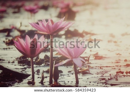 sea of pink lotus  udonthani ...