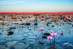 Sea of pink lotus unseen in Thailand