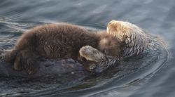 sea otter at morro bay pacific coast