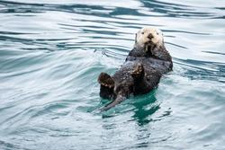 Sea otter bobbing in water on Resurrection Bay