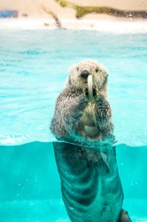 Sea otter eat feed while floating in the ocean.