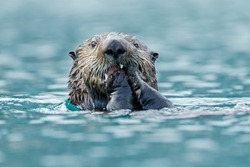 Sea otter eats something while floating in the ocean.