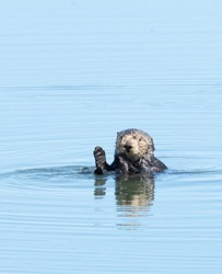 Sea otter floating in the water at Moss Landing in northern California