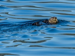 Sea Otter floating on it's back in the cold Alaska blue waters