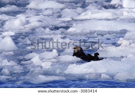 Sea otter in the ice.