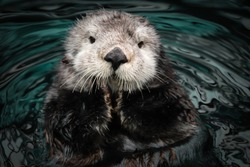 Sea otter posing in the water