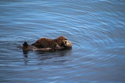 Sea otter pup cuddling with mom