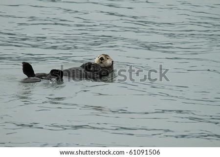 sea otter - seward / alaska