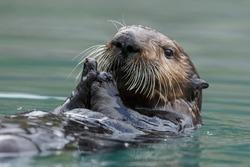 Sea otter swimming in blue ocean water