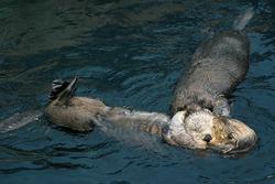 Sea otters in Lisbon Oceanarium