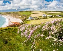 Sea pinks or Thrift,  Armeria maritinum on the South West Coast Path near Gunwalloe Fishing Cove, Cornwall England UK