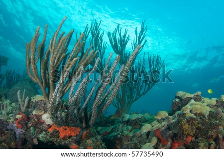 Sea Rods and Sea Fans on a coral ledge in Broward County, Florida