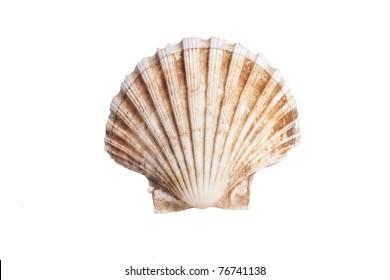 stock photo of sea scallop shell