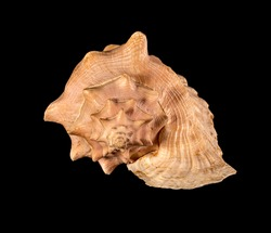 Sea shell isolated. Cassis cornuta, common name the horned helmet, is a species of extremely large sea snail, a marine gastropod mollusc in the family Cassidae, the helmet shells