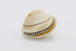 Sea shell isolated on a white background, Seashell on white background