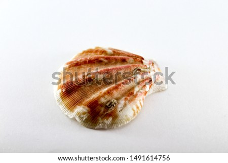 Sea shell. Mollusk shell on a white background